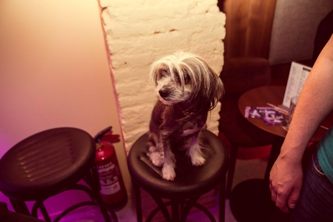 Perro pequeño en Priscilla Cafe
